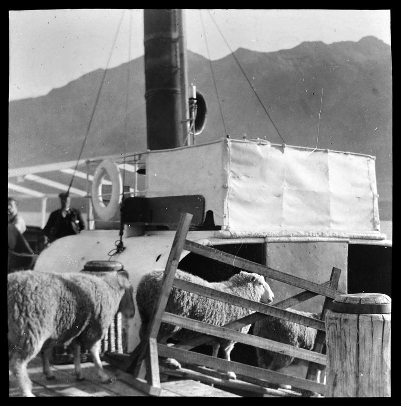 Loading Sheep, Glenorchy