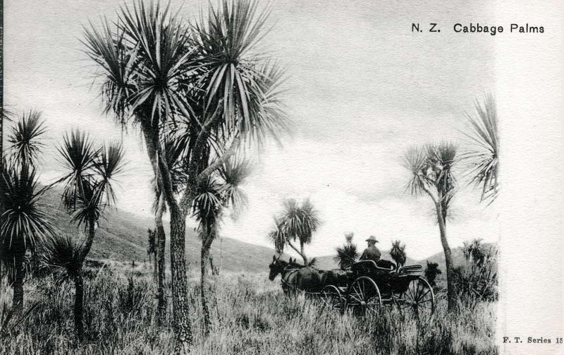 NZ Cabbage Palms